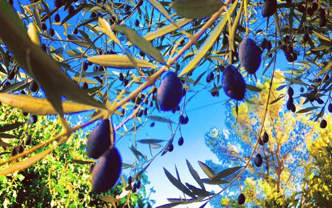 La Provence : un domaine oléicole millénaire